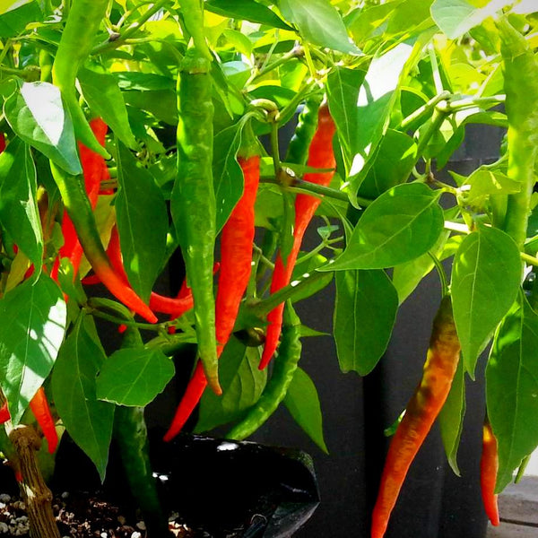 Hot Pepper - 'Long Slim Cayenne' Seeds