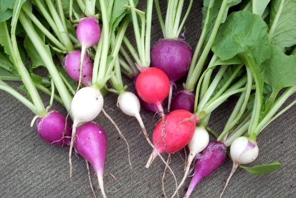 Sample - Radish - 'Easter egg' Seeds