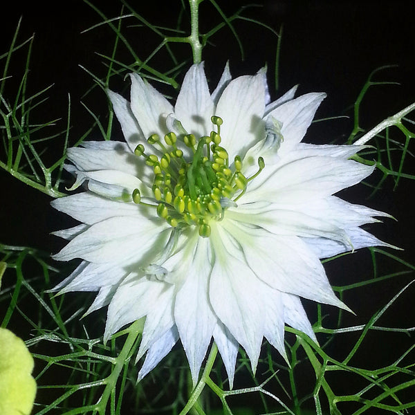 Nigella (Love-in-a-Mist) - Persian Jewels Mix - Seeds