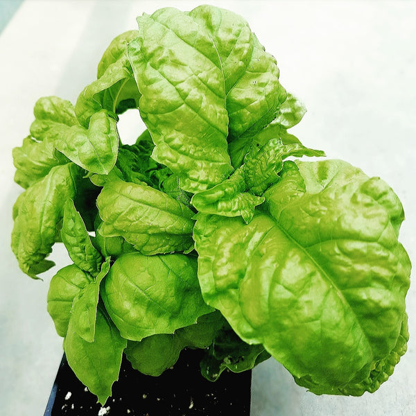 Sample - Basil - 'Mammoth' Seeds