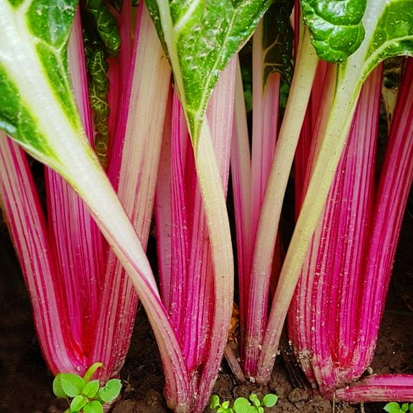 Sample - Swiss Chard - 'Peppermint' Seeds