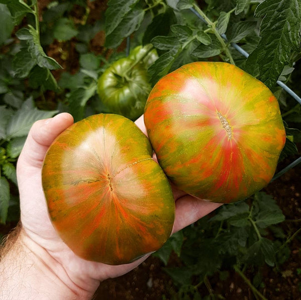 Tomato - 'Berkeley Tie Dye' Seeds