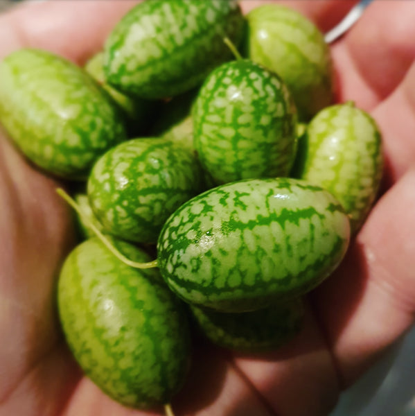 Sample - 'Cucamelon' aka 'Mouse Melon' Seeds