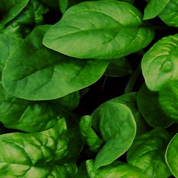 Spinach - 'C2-608 Speedy' Seeds