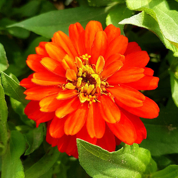 Zinnia - 'Zahara Double Fire' Seeds