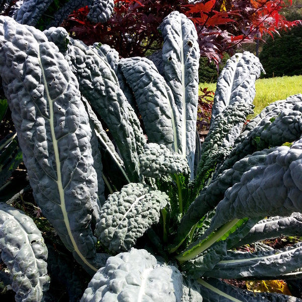 Sample - Kale - 'Black Magic' Seeds