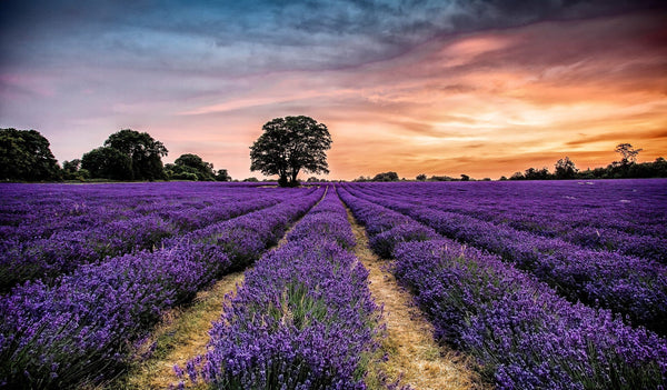 Natural Perfumery at Mayfield Lavender Fields - July 2020