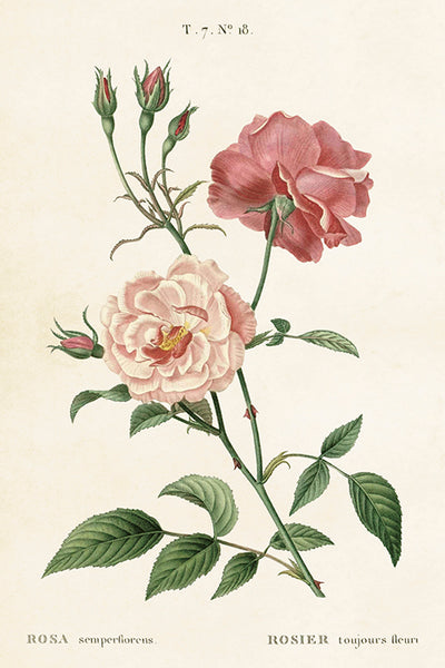 Postcard - Vintage  Rose Pink Design