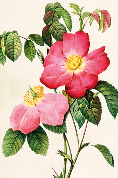 Postcard - Vintage Rose Design