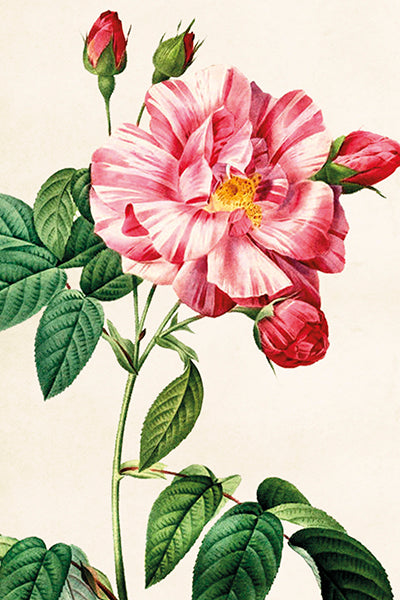 Postcard - Vintage Stripe Rose Design