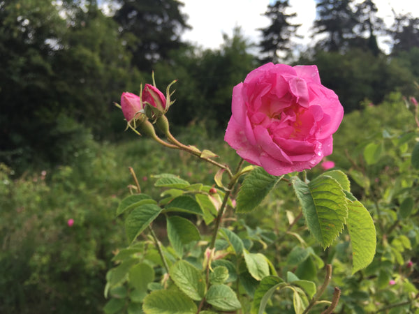 A Rose Retreat - Natural Skin Care & Aromatherapy Course, 5 nights in Bulgaria, May 2020