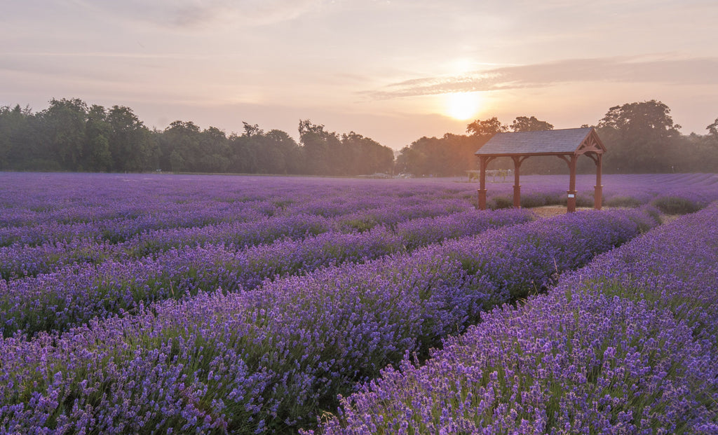 Natural Perfumery at Mayfield Lavender Fields - mid July 2020