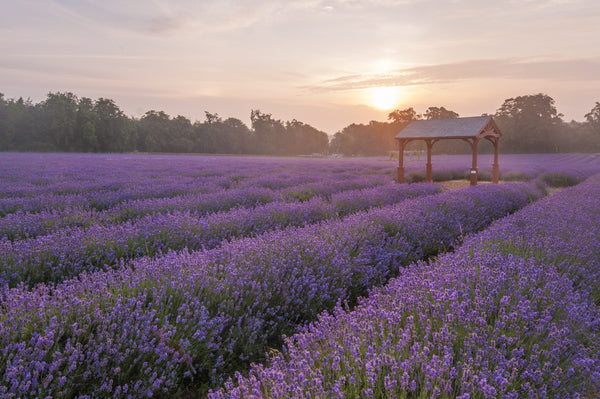 Natural Perfumery at Mayfield Lavender Fields - 11th July 2019