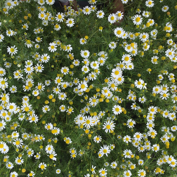 Chamomile Flower Water