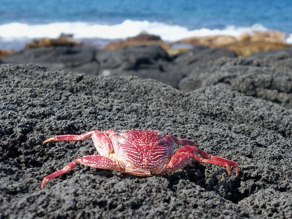 sunburned crab image from Hawaii picture of the day