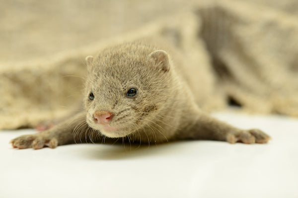Small mink animal whose hair is used for mink eyelashes