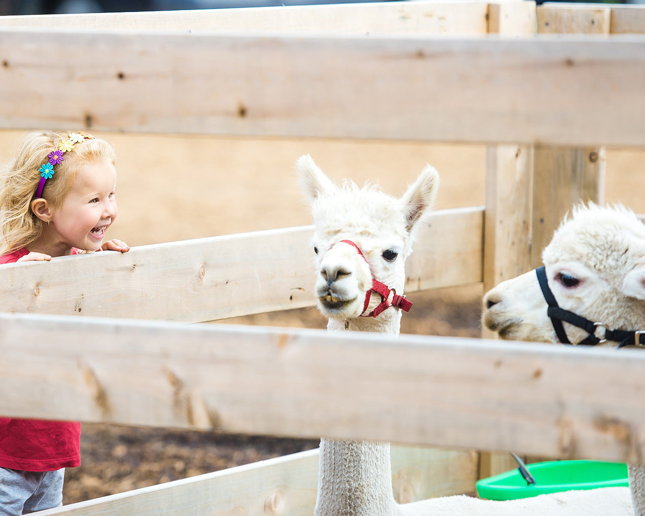 child-llama-farmers-market