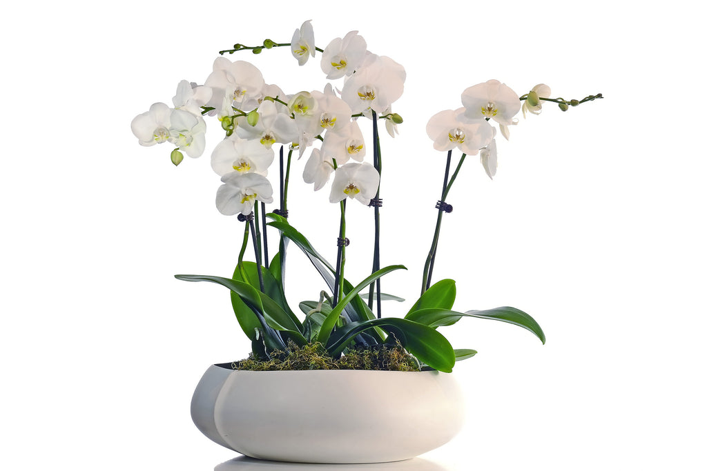 Phalenopsis Orchids and White Vase/Bowl