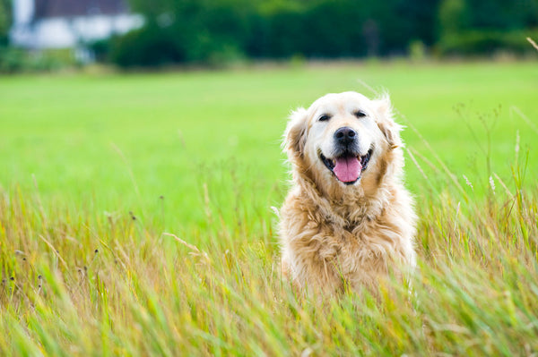 What to Look for in Joint Supplements for Dogs