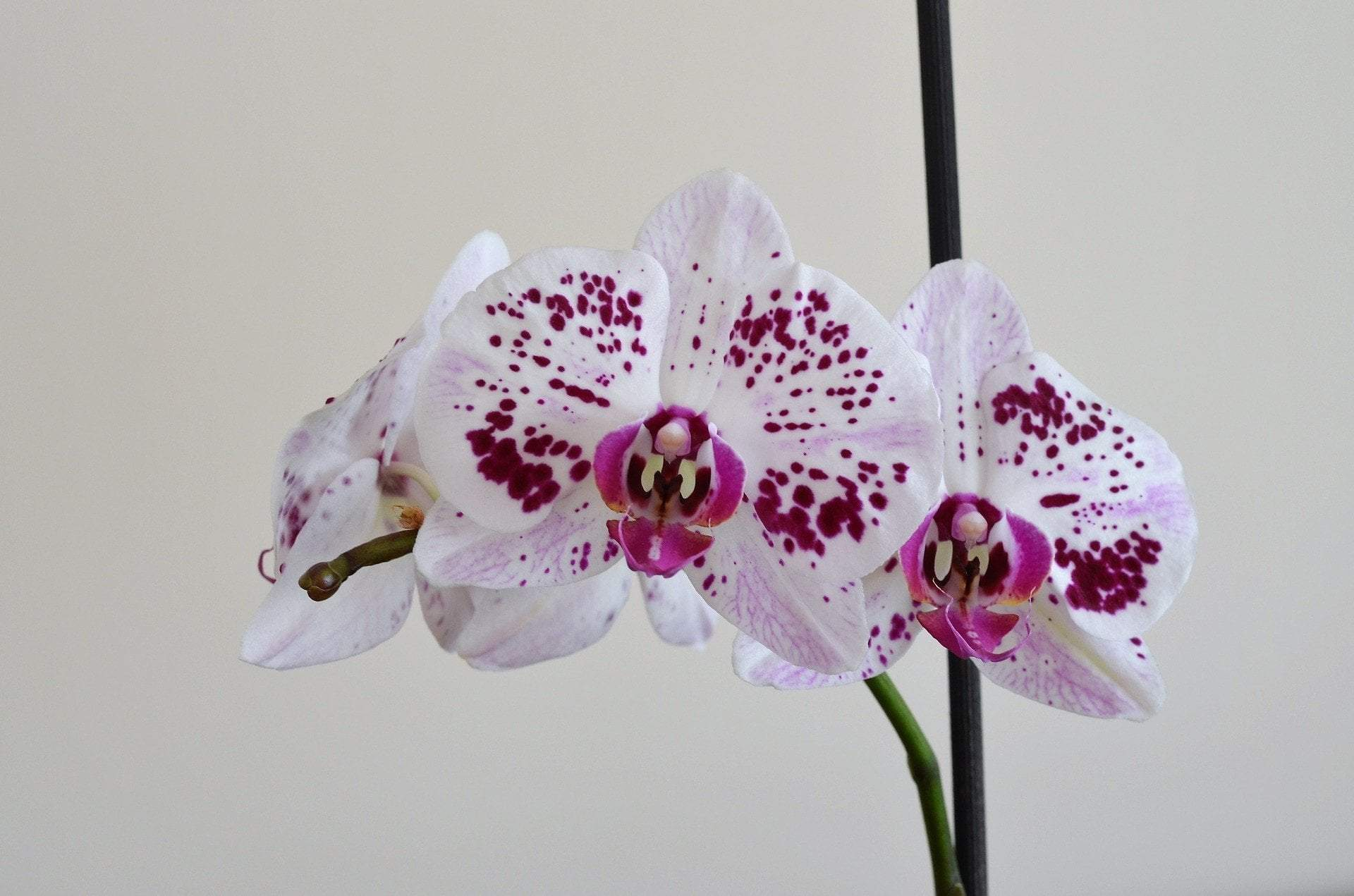 how-to-repot-an-orchid