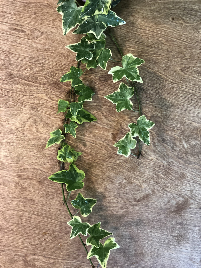 Variegated Ivy Bunches