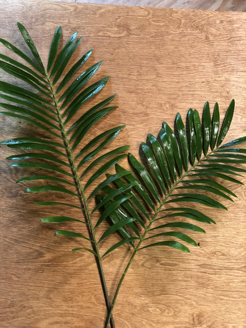 Coontie Palm Bunches