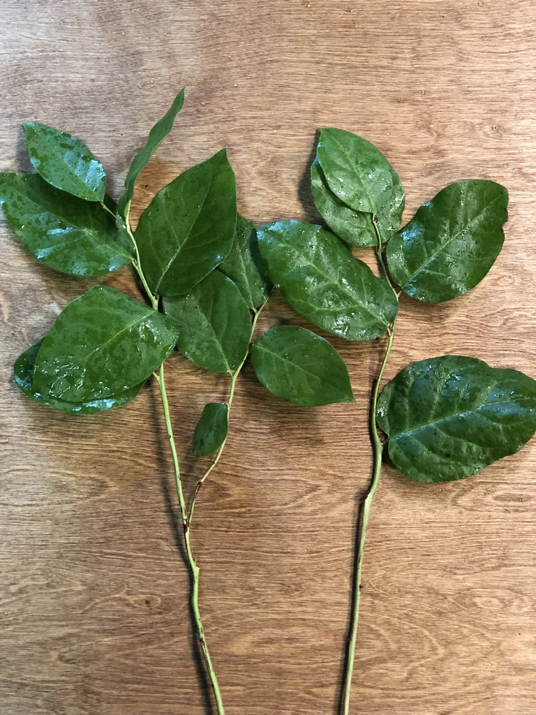 Salal Tips (Lemon Leaf)