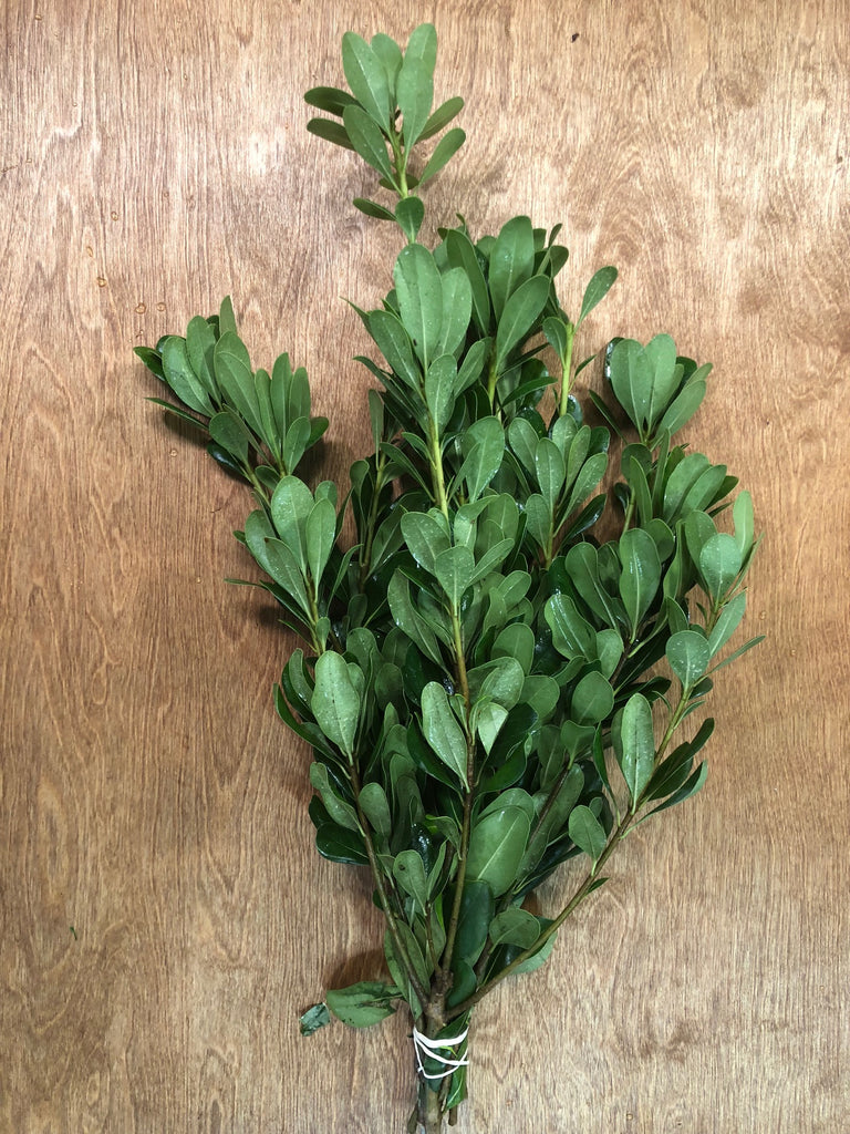 Green Pittosporum Bunches