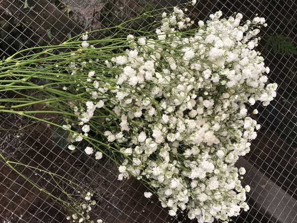 Babys Breath Bunches
