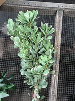 Variegated Pittosporum Bunches