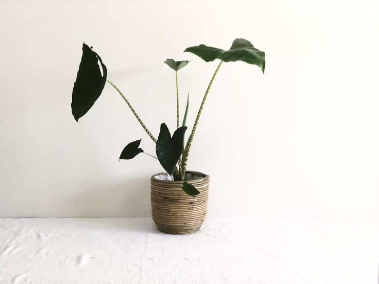 Bamboo Pot with Plant