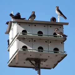 Purple Martin house with birds