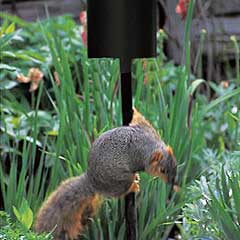 Squirrel Trying To Climb Up Pole With Baffle