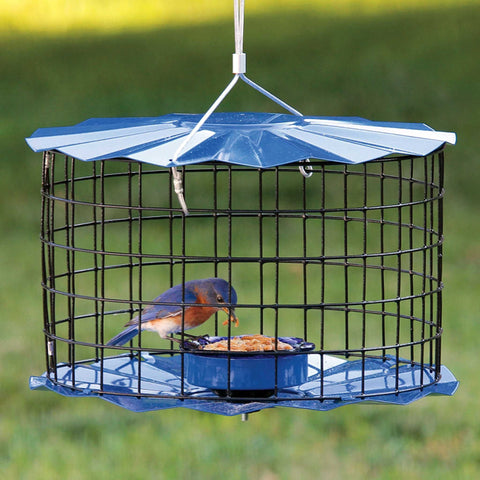 Solitary Bluebird eating mealworm from Bluebird feeder.