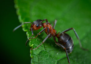 Gardening Insects 101 - Ants - Friend Or Foe