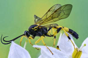 Insects & Pests 101 - Wasps - Friend Or Foe