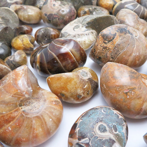 Nautilus fossil (Cretaceous Nautiloid) - Beautiful Collectible Polished Whole Ammonite Fossil
