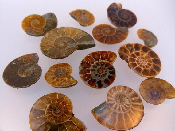 Ammonite - 10 Ammonite Fossils Great Deal