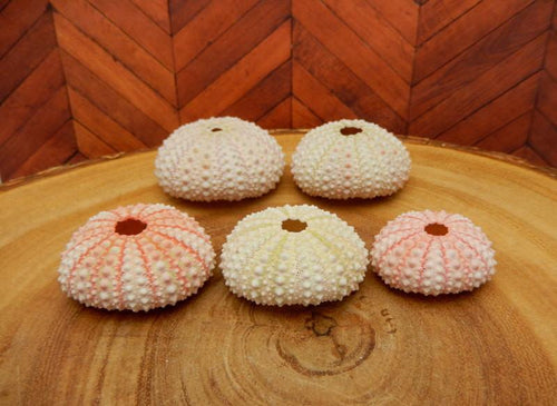 Shells - Sea Urchin - Light Pink Urchin- Purple Urchin Shell (RK14B5)