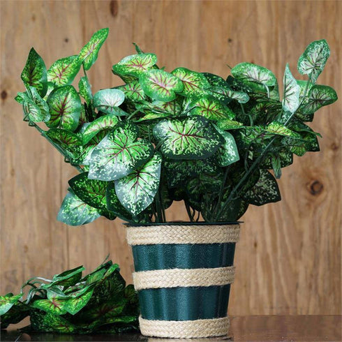 4 x IVY LEAGUE Bushes Calladium Leaf Green/Red