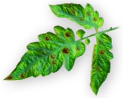 Manganese Deficiency in Plants