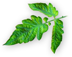 Magnesium Deficiency in Plants