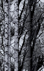 Birch Forest Premium Window Film | (Static Cling) - Window Film World