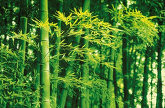 Bamboo In Spring Wall Mural - Window Film World
