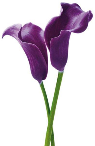 Purple Calla Lillies Wall Mural - Window Film World