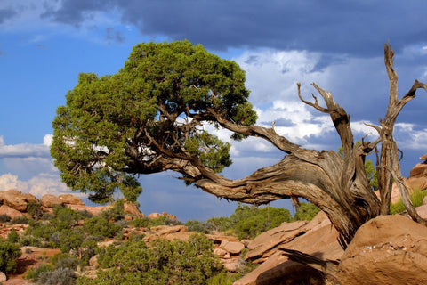 Twisted Juniper Tree