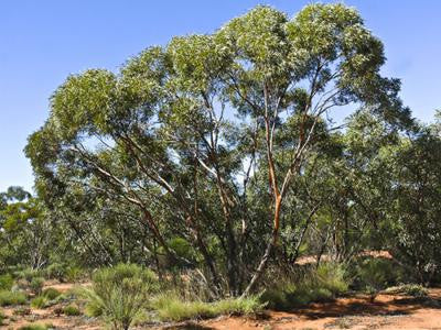 Red Mallee Tree