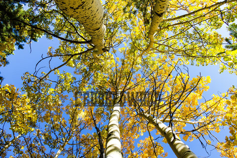 Aspens in Fall ~ Natural edge frame