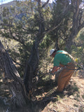 Colorado Juniper harvest