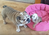 Baby Bulldog and Daddy Bulldog...need I say more? soooo adorable..